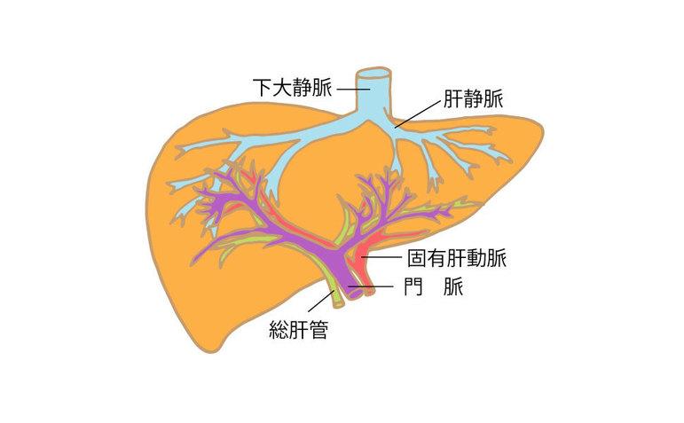 肝臓の構造