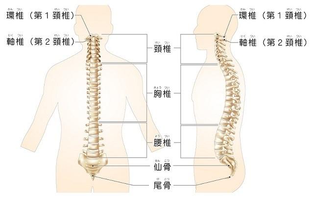脊椎の構造