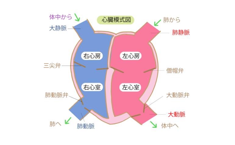 心臓の模式図