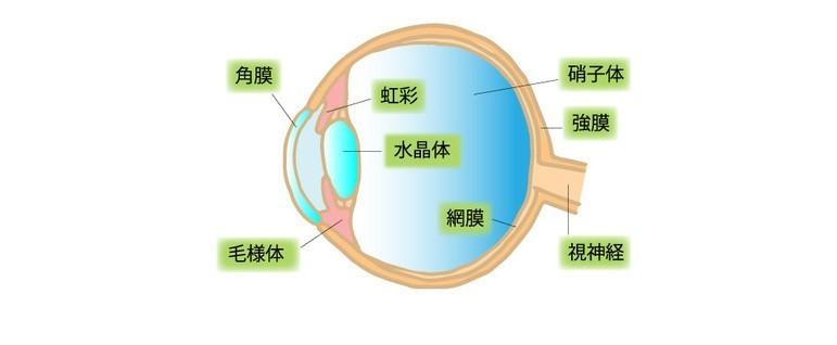 目の横断図