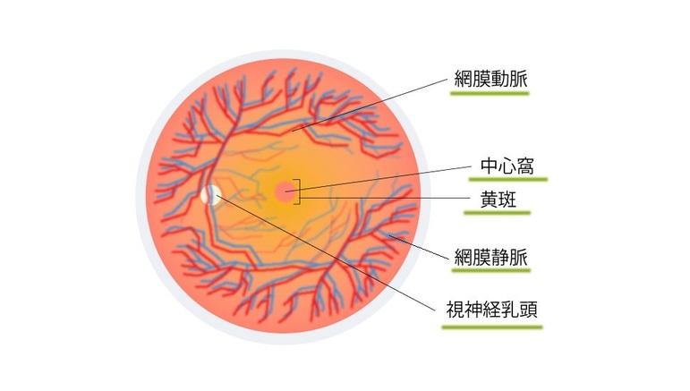 黄斑は目の中心にある